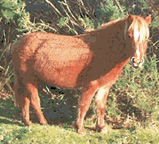 Animal Designs : New Forest Horse No.2