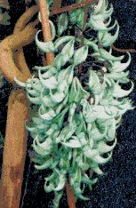 Flower Designs : Jade Vine